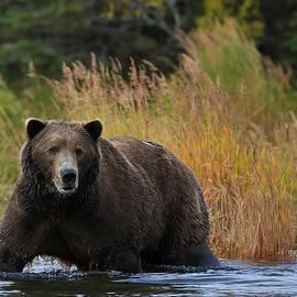 Sam Amato - Big Alaskan Brown Bear