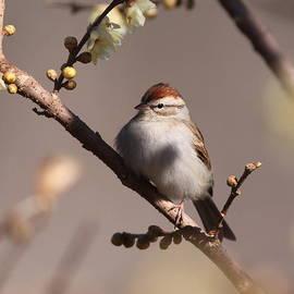 Travis Truelove - Bird - Sparrow - So Simple