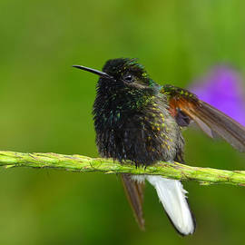 Tony Beck - Black-bellied Hummingbird
