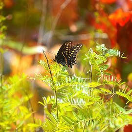 Peggy  Franz - Black Swallow Tail Butterfly in Autumn Colors