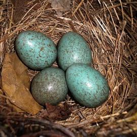 Colette V Hera  Guggenheim  - BlackBird Mums Eggs
