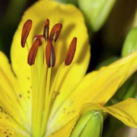 Carolyn Marshall - Blooming Yellow Lily