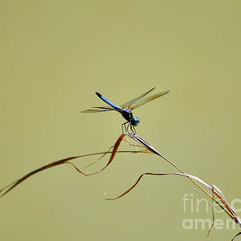 Al Powell Photography USA - Blue Dasher Dragonfly