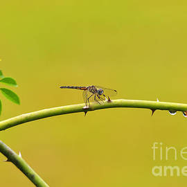 Al Powell Photography USA - Blue Dasher Female