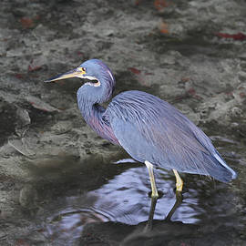Juergen Roth - Blue Heron in Estero Bay