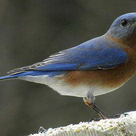 Earl Williams Jr  - Bluebird on a Winter Day