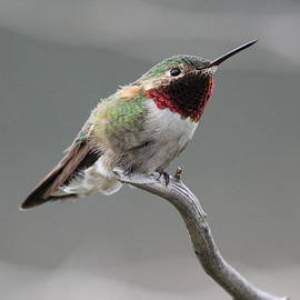 Shane Bechler - Broad-Tailed Hummingbird