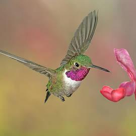 Gregory Scott - Broadtail Hummingbird at Salvia