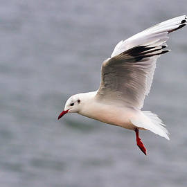 Tony Beck - Brown-hooded Gull