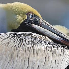 Adam Romanowicz - Brown Pelican