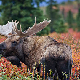 Thomas Payer - Bull Moose in the Fall Colors