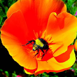John King - Bumble Bee In Poppy