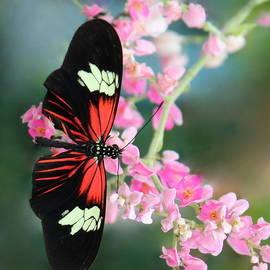 Rosanne Jordan - Butterfly in the Pink