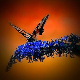 Dave Sandt - Butterfly on Butterfly bush