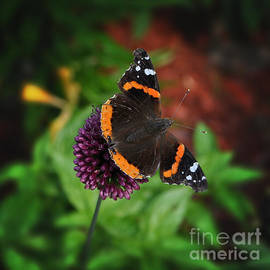 Mary Machare - Butterfly on Purple Drumstick Allium