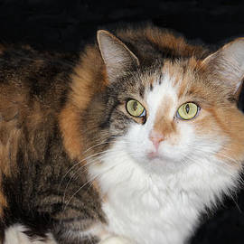 Rosalie Scanlon - Calico Cat