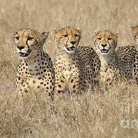Mareko Marciniak - Cheetah family