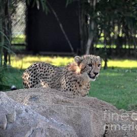 John Black - Cheetah