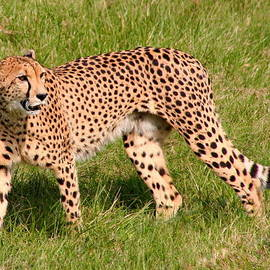 Laurel Talabere - Cheetah