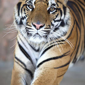 Anek Suwannaphoom - close up of a young tiger
