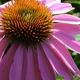 Bruce Bley - Cone Flower