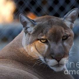 Roy Williams - Cougar Portrait - Sad Eyes