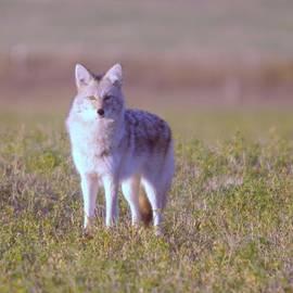 Jeff  Swan - Coyote