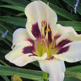 Sonali Gangane - Creamy white Lily