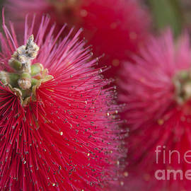 Sharon Mau - Crimson Bottlebrush - Callistemon citrinus
