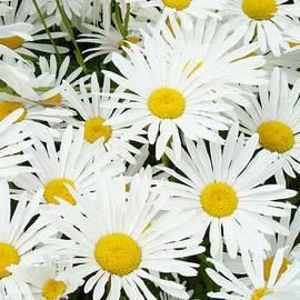Baslee Troutman Floral Art Prints - Daisies art prints White Daisy Flowers Floral