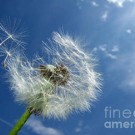 Matthias Hauser - Dandelion and blue sky