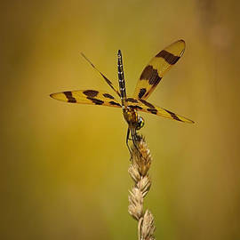 Dave Sandt - Dragonfly on a stalk of wheat