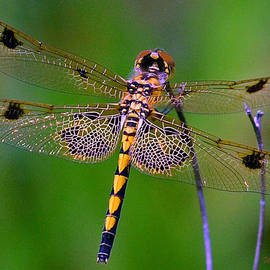 William Lallemand - Dragonfly