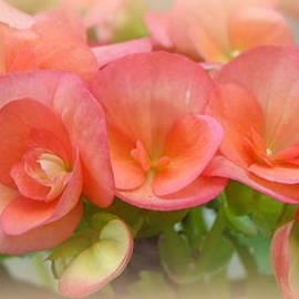 Carla Parris - Dreamy Begonias