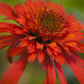 Teresa Mucha - Dreamy Hot Papaya Coneflower Bloom