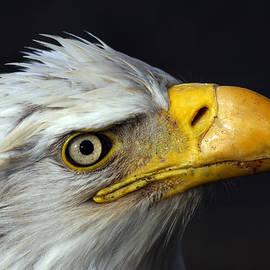 Doug Lloyd - Eagle Portrait