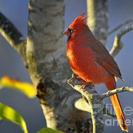 Nava  Thompson - Early Morning Cardinal