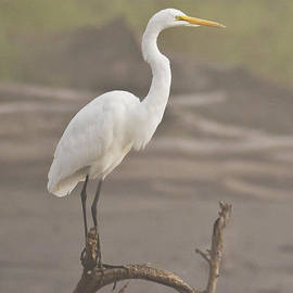 Pam  Holdsworth - Egret in the Fog