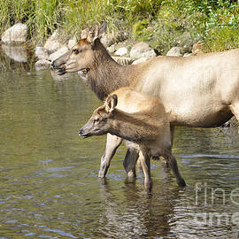Elk in Colorado Stream