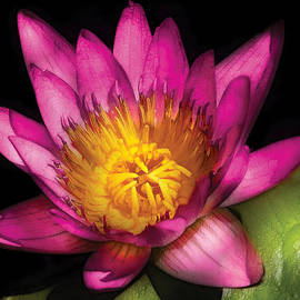 Mike Savad - Flower - Lotus - Nymphaea  Ruby - Passion