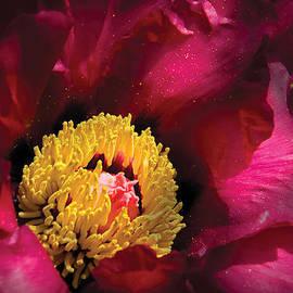 Mike Savad - Flower - Peony