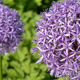 Julie Palencia - Flowering Alliums
