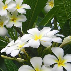 Kerri Ligatich - Fragrant White Plumeria
