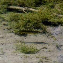 LeeAnn McLaneGoetz McLaneGoetzStudioLLCcom - Fresh Water Pond Fish