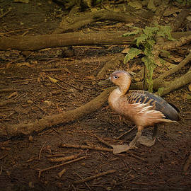 Anne Rodkin - Fulvous Whistling Duck Out For A Stroll