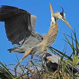 Larry Nieland - Great Blue Heron courtship display