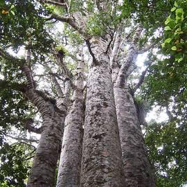 Peter Mooyman - Giant Kauri Grove