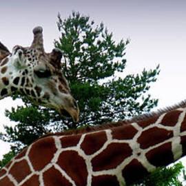 Jeremy Martinson - Giraffe