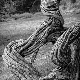 Anthony Citro - Gnarled Tree