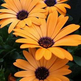 Bruce Bley - Golden Daisies